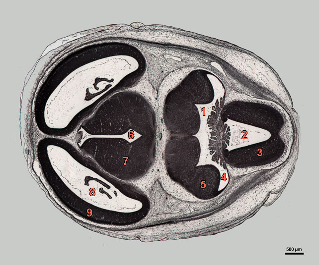 E16-07-hor-339-labels section of rat embryo