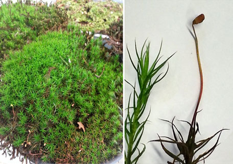 Atrichum: left view moss plantlets, middle view gametophyte, right -old- sporophyte consisting of seta and capsule; the sporophyte has developed on top ogf the female gametophyte; photo Stefan Vriend