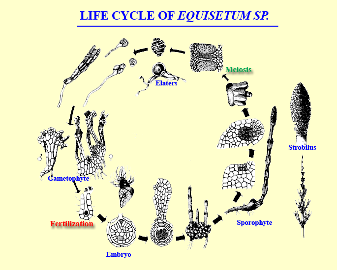 life cycle of equisetum, horsetail