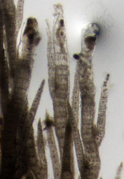 Polysiphonia under binocular; vegetative thalli