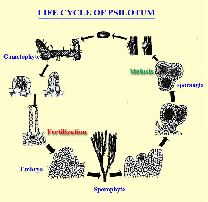 life cycle of Psilotum, whisk fern