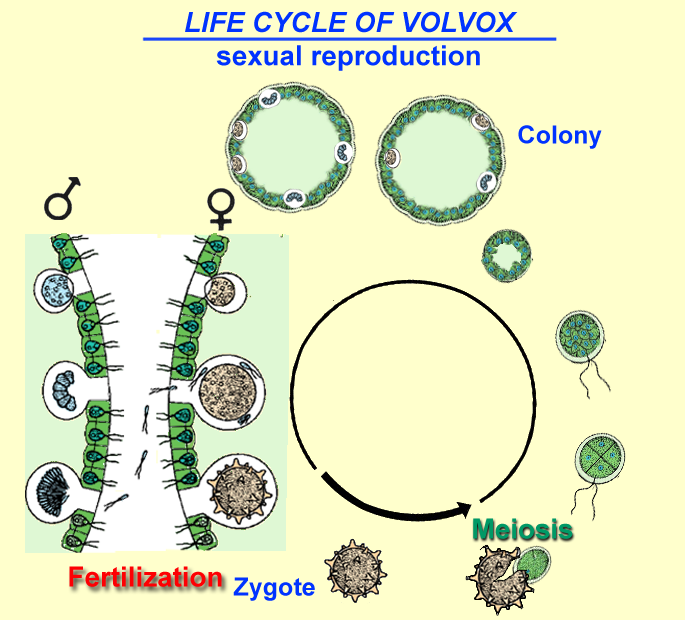 Life cycle of Volvox: sexual reproduction
