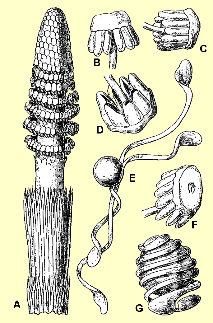 Strobili in Equisetum; Source: K. Giesenhagen 1903