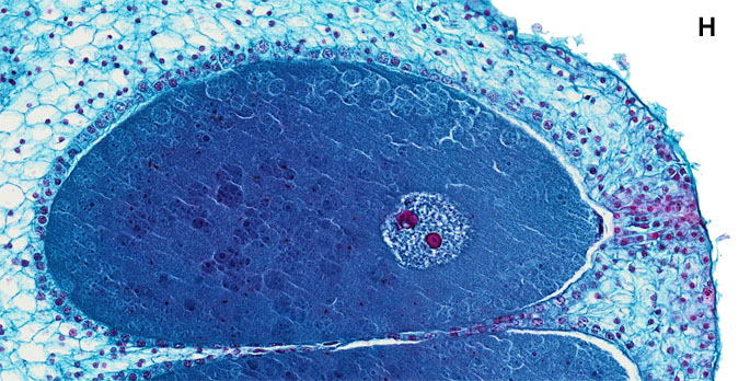 detail egg cell with nucleus