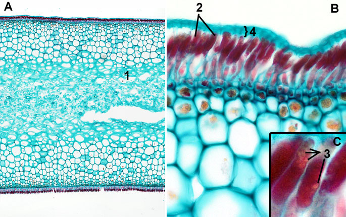Laminaria turox: Thallus overview and detail of sporangia