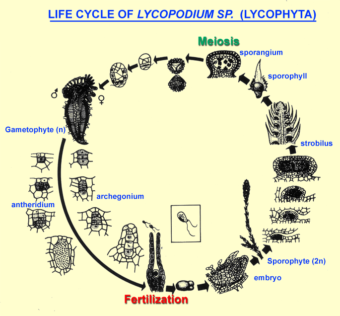 life cycle of Lycopodium