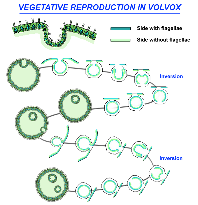 Life cycle of Volvox: vegetative/asexual reproduction