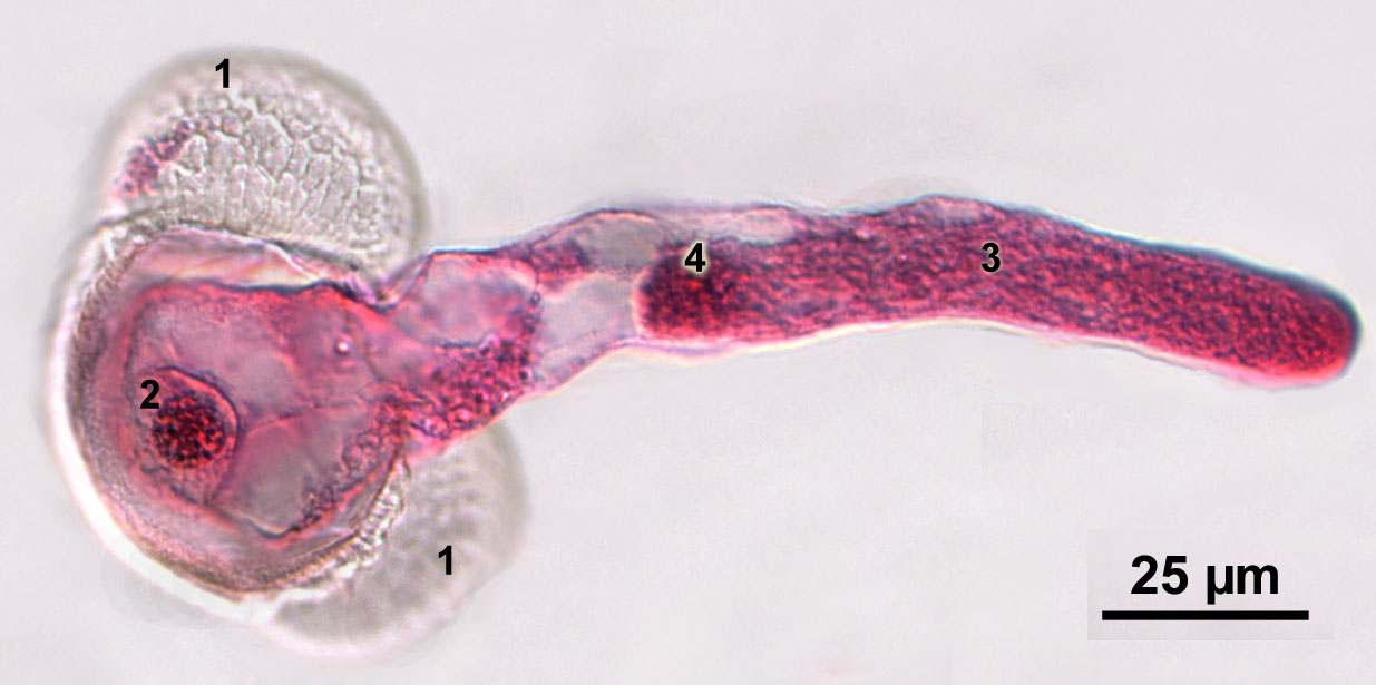 Germinated pollen grain of pine with pollen tube and generative cell