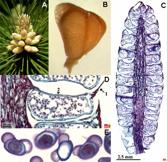 Male strobilus, scale and pollen of pine